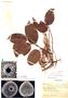 Clarisia racemosa