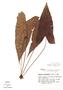 Dorstenia arifolia