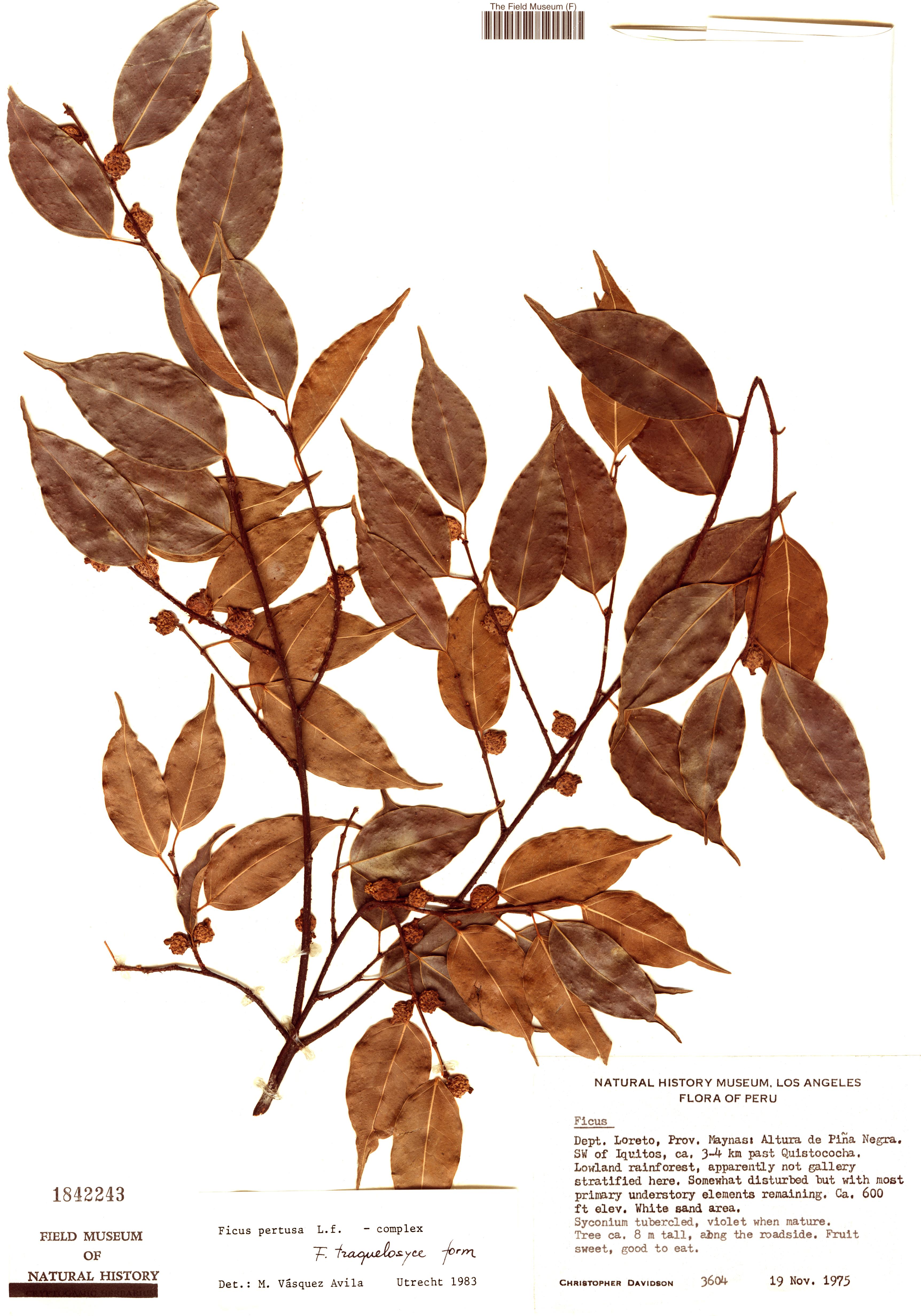 Specimen: Ficus nigrotuberculata