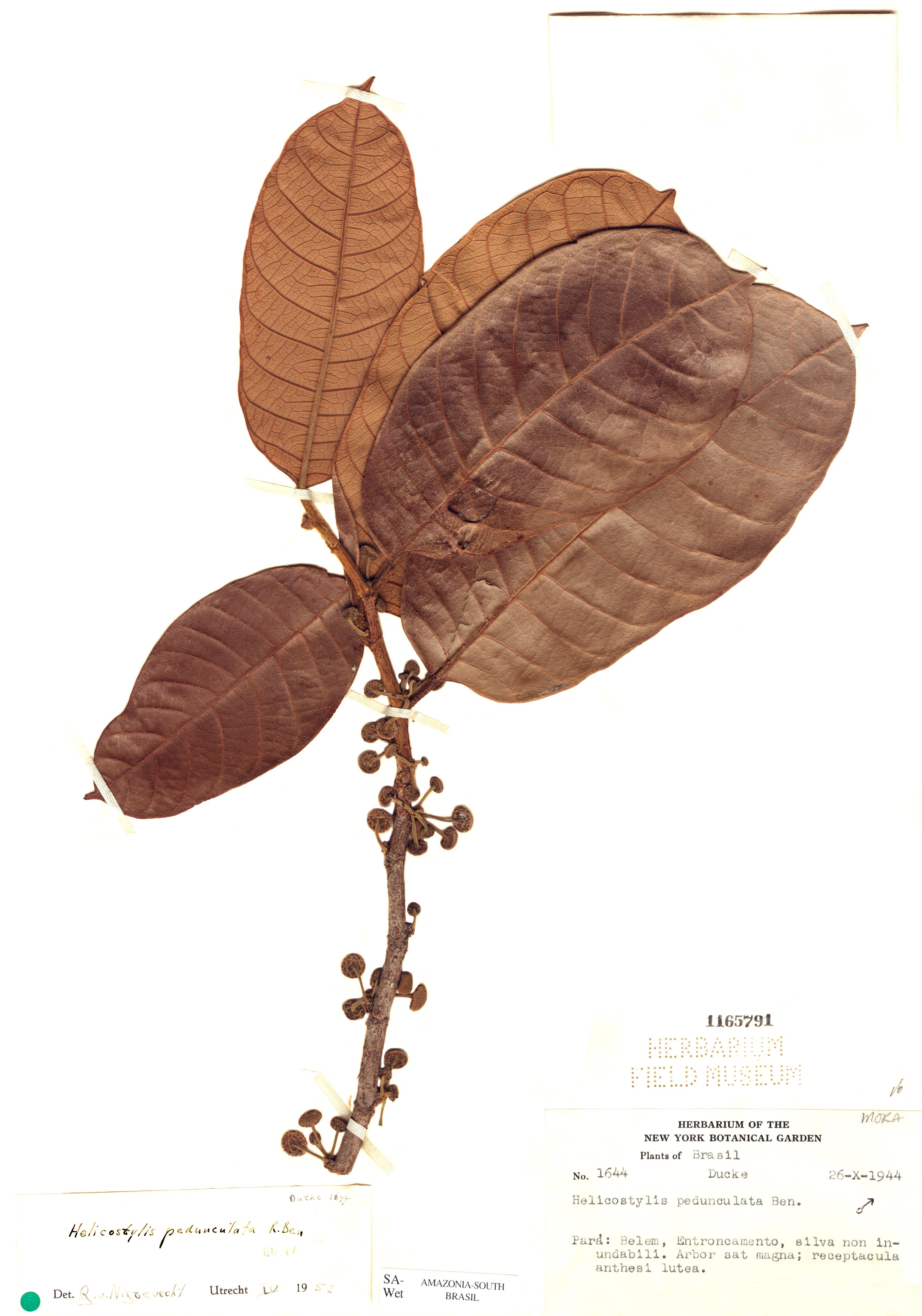 Specimen: Helicostylis pedunculata