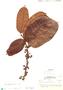 Helicostylis pedunculata