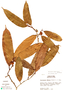 Naucleopsis glabra