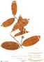 Naucleopsis guianensis