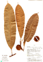 Naucleopsis imitans