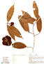 Naucleopsis pseudonaga