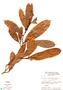 Naucleopsis ternstroemiiflora