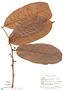 Perebea rubra ssp. rubra