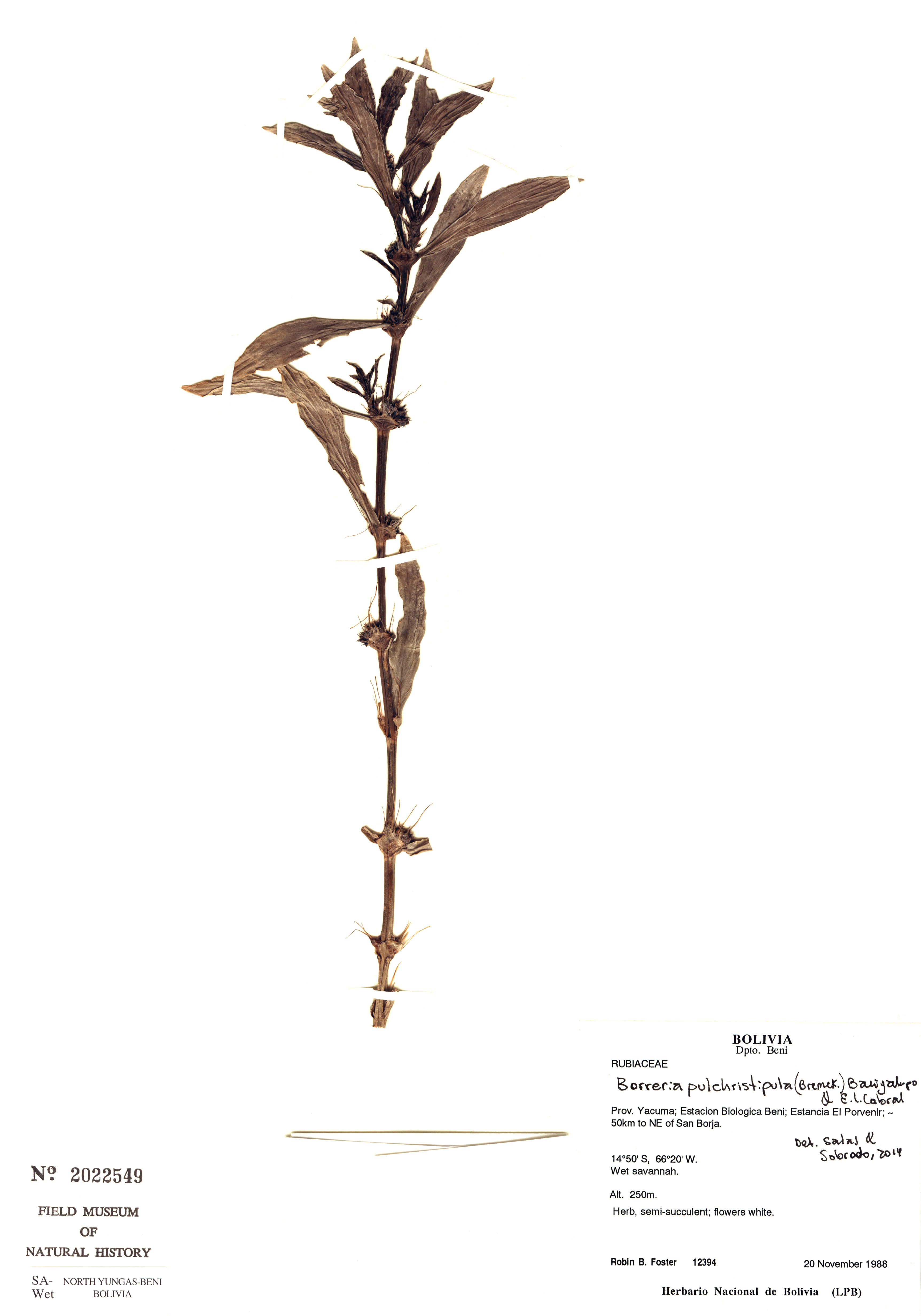 Specimen: Borreria pulchristipula