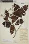 Joosia umbellifera H. Karst., COLOMBIA, A. E. Lawrence 717, F