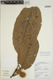 Sloanea usurpatrix Sprague & L. Riley, BRITISH GUIANA [Guyana], M. J. Jansen-Jacobs 2209, F