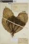 Sloanea schomburgkii Spruce ex Benth., BRITISH GUIANA [Guyana], A. C. Persaud 206, F