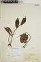 Sloanea guianensis (Aubl.) Benth. subsp. guianensis, BRITISH GUIANA [Guyana], J. S. de la Cruz 3497, F