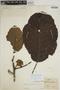 Sloanea grandiflora Sm., BRITISH GUIANA [Guyana], Schomburgk 168, F