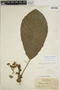 Sloanea grandiflora Sm., BRITISH GUIANA [Guyana], J. S. de la Cruz 1364, F