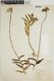 Epidendrum ibaguense image
