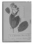 Field Museum photo negatives collection; Genève specimen of Viburnum incarum Graebn., PERU, A. Weberbauer 1986, Type [status unknown], G