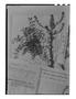 Lepidium auriculatum image