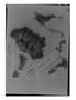 Lepidium meyenii image