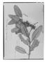 Field Museum photo negatives collection; Genève specimen of Brunellia briquetii Baehni, PERU, A. Mathews, Holotype, G
