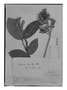 Field Museum photo negatives collection; Genève specimen of Couepia comosa Benth., BRITISH GUIANA [Guyana], R. H. Schomburgk 28, Isotype, G