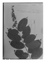 Field Museum photo negatives collection; Genève specimen of Hirtella eriandra Benth., BRITISH GUIANA [Guyana], Schomburgk 886, Isotype, G