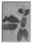 Field Museum photo negatives collection; Genève specimen of Licania coriacea Benth., BRITISH GUIANA [Guyana], R. H. Schomburgk 50, Isotype, G