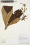 Saurauia biserrata (Ruíz & Pav.) Spreng., PERU, A. Monteagudo 14030, F