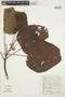 Croton palanostigma Klotzsch, COLOMBIA, J. Gasche 177, F