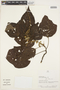 Croton palanostigma Klotzsch, PERU, F. Ayala 531, F