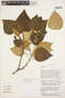 Croton pilulifer Rusby, BOLIVIA, D. N. Smith 13453, F