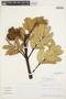 Brunellia ovalifolia Bonpl., Peru, J. Campos 4971, F