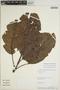 Sloanea usurpatrix Sprague & L. Riley, Peru, W. Pariona 912, F