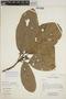 Sloanea usurpatrix Sprague & L. Riley, Ecuador, D. Irvine DI876, F