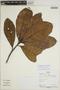 Sloanea parvifructa Steyerm., Peru, P. Fine 1038, F