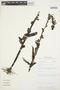 Habenaria monorrhiza image
