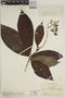 Joosia umbellifera H. Karst., Colombia, O. L. Haught 2549, F