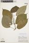 Tynanthus panurensis (Bureau) Sandwith, PERU, A. H. Gentry 20476, F