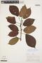 Tynanthus panurensis (Bureau) Sandwith, PERU, A. H. Gentry 21323, F