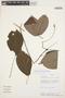 Tynanthus panurensis (Bureau) Sandwith, PERU, A. H. Gentry 52280, F