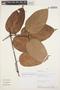 Tynanthus panurensis (Bureau) Sandwith, PERU, A. H. Gentry 56126, F