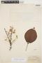 Tynanthus panurensis (Bureau) Sandwith, PERU, G. Klug 1972, F