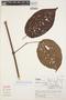 Tynanthus panurensis (Bureau) Sandwith, PERU, J. Treacy 333, F