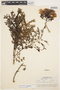 Jacaranda obtusifolia subsp. rhombifolia (G. Mey.) A. H. Gentry, Brazil, A. Ducke 1319, F