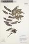 Jacaranda obtusifolia Bonpl., Guyana, B. Hoffman 3790, F