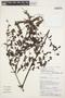 Jacaranda obtusifolia Bonpl. subsp. obtusifolia, Peru, J. J. Pipoly 14031, F