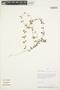 Mansoa parvifolia (A. H. Gentry) A. H. Gentry, Peru, A. H. Gentry 42378, F