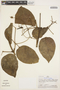 Pleonotoma dendrotricha Sandwith, Peru, A. H. Gentry 29526, F