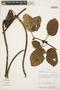 Stizophyllum inaequilaterum Bureau & K. Schum., Peru, A. H. Gentry 41396, F