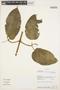Stizophyllum inaequilaterum Bureau & K. Schum., Bolivia, A. H. Gentry 73647, F
