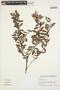 Gaultheria reticulata Kunth, Peru, I. M. Sánchez Vega 12444, F